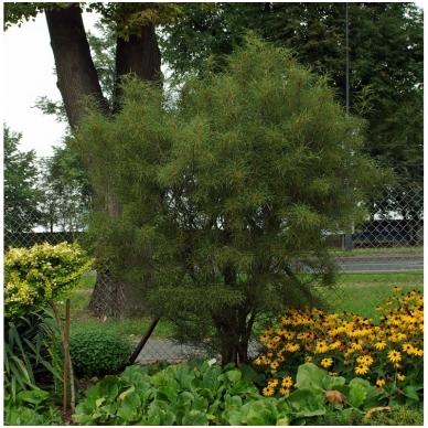 Šaltekšnis paprastasis 'Asplenifolia' C5