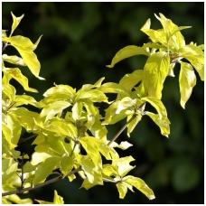 Sedula geltonžiedė 'Aurea' C2
