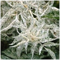 Šeivamedis juoduogis 'Pulverulenta' C5