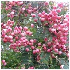Šermukšnis 'Coral Pink' C10