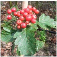 Šermukšnis šiaurinis (hibridinis) 'Gibbsii' C7.5