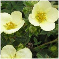 Sidabrakrūmis paprastasis 'Primrose Beauty' C2
