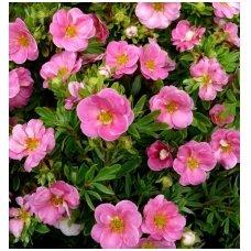 "Sidabrakrūmis (sidabražolė krūminė) ""Lovely Pink"", C3"