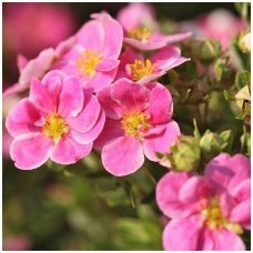 Sidabražolė krūminė 'Lovely Pink' C2