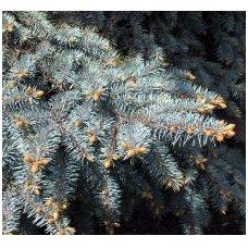 Sidabrinės eglės šakos (visas medis)