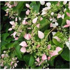 Skeltė hortenzinė 'Roseum', C2