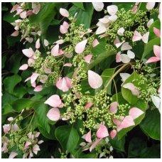 Skeltė hortenzinė 'Roseum' C10