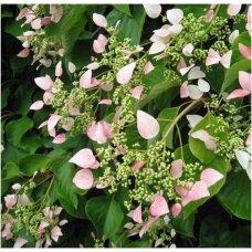 Skeltė hortenzinė 'Roseum', C5