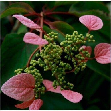 Skeltė hortenzinė 'Roseum', C2 2