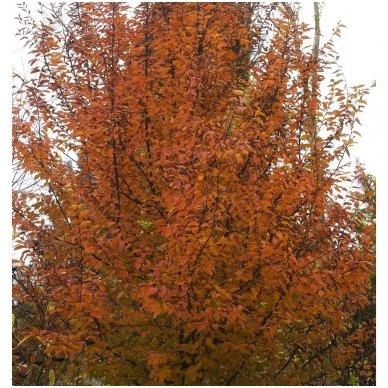 Skroblas paprastasis 'Orange Retz' C10 2