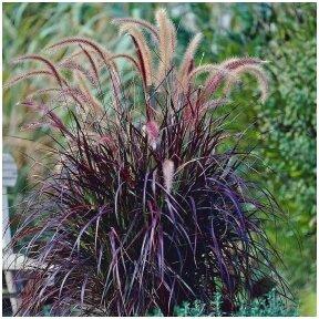 Fountain grass C2