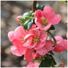 Svarainis puošnusis 'Pink Lady' C3