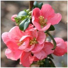 Svarainis puošnusis 'Pink Lady' A C10, Pa
