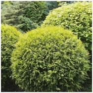 Arborvitae 'Globosa Gold' C2