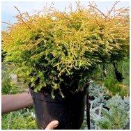 Arborvitae 'Golden Tuffet' C12