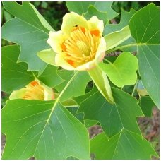 Tulpmedis gelsvažiedis 'Fastigiatum' C10