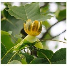 Tulpmedis kininis C2