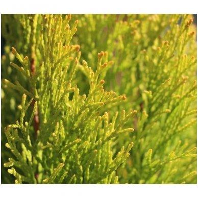 Tuja vakarinė 'Golden Smaragd' C12 4