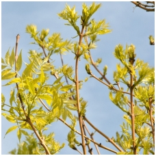 Uosis paprastasis 'Allgold' C7.5