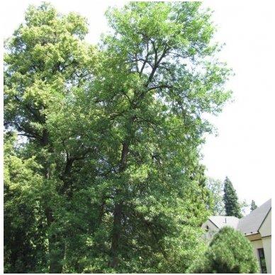Uosis pensilvaninis 'Aucubifolia' C10 2