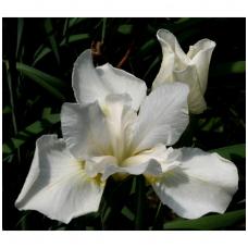 Vilkdalgis sibirinis  'White Swirl', C2