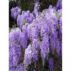 Visterija gausiažiedė 'Royal Purple' C2