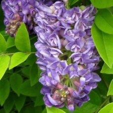 Visterija krūminė 'Longwood Purple', C2