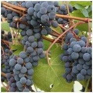 Vynmedis 'Zilga' C5