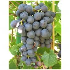 Vynmedis 'Agat Donskoj' C5
