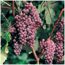 Vynmedis 'Kanadis' (Canadice) C2