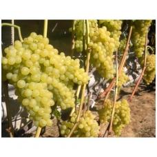 Vynmedis 'Kišmiš Nr 342' C2 (besėklė)