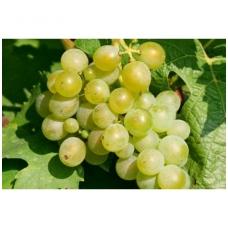Vynmedis 'Muskat Galben' C2