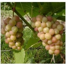 Vynmedis 'Palanga' C2