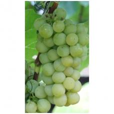 Vynmedis 'Selė' C2