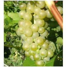 "Vynmedis ""Supaga"" C2"