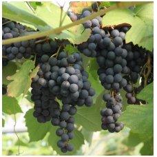Vynmedis 'Zilga' C2