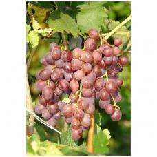 Vynuogė 'V68021' C5