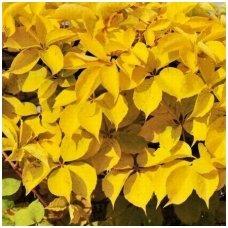 Vynvytis penkialapis 'Yellow Wall' PBR C2