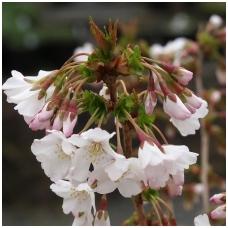 Vyšnia japoninė (Sakura) 'Brilliant' C10