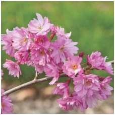 Vyšnia rausvoji (pavasarinė) 'Fukubana' 10