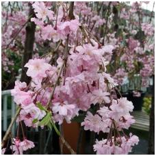 Vyšnia rausvoji (pavasarinė) 'Pendula Plena Rosea' C7.5, Pa