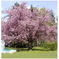 Vyšnia-sakura smailiadantė (japoninė) 'Kanzan' C10, Pa