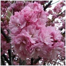Vyšnia smailiadantė - Sakura C2