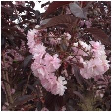 Vyšnia smailiadantė - Sakura 'Royal Burgundy' C5