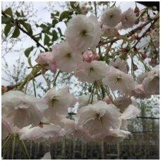 Vyšnia smailiadantė (Sakura) 'Shimidsu' C5