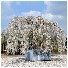 Vyšnia svyruoklinė - Sakura 'Ivensii', C15, Pa