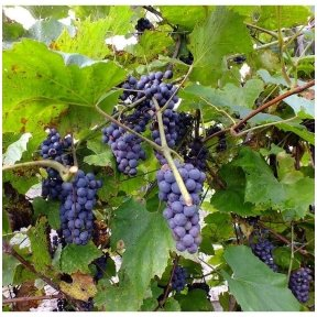 Amur grape C2