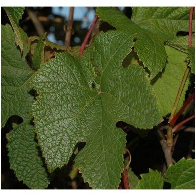 Vynmedis amūrinis C2 2