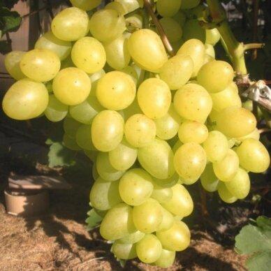 Vynmedis 'Arkadia', C2