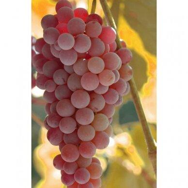 Vynmedis 'Reliance', C2